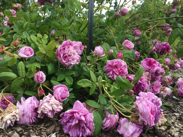 The Rose Garden (Bridget Bartos)